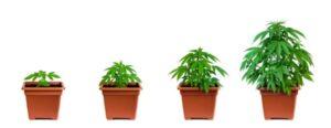 Waarom autoflower wietzaden kweken