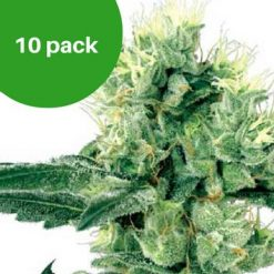 10 pack - Sour Diesel Haze autoflower