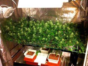 Cannabis kweken met de SCROG-methode