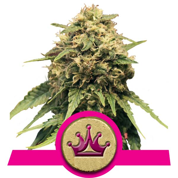 Special Queen cannabis seeds