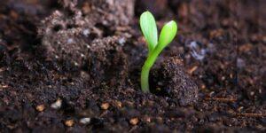 Zaden planten na ontkiemen