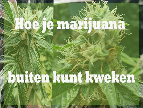 Hoe je marijuana buiten kunt kweken