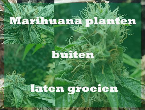 Marihuana planten buiten laten groeien